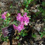 Rododendron Rohozec