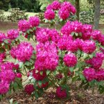 Rododendron Roland