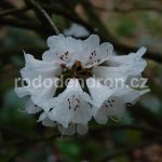 Rododendron Rombergpark