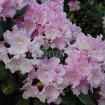 Rododendron Rosa Zwerg