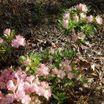 Rododendron Rosalba