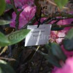Rododendron Rose Elf