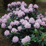 Rododendron Rose Marie