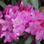 Rododendron Roseum Superbum