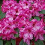 Rododendron Rote Francis