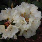 Rododendron Rothenburg