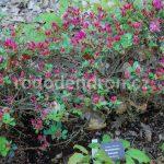 Rododendron Rubineta