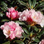 Rododendron Rumplstielzchen