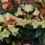 Rododendron Safrano