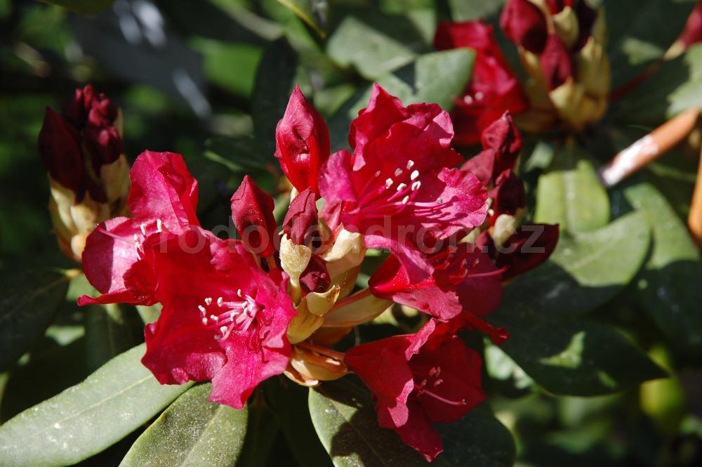 Rododendron Sammetglut