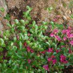 Rododendron Sanctum