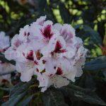Rododendron Sapporo