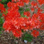 Rododendron Saturnus
