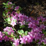 Rododendron Sázava