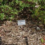 Rododendron Schllipenbachii