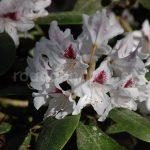 Rododendron Schneeauge