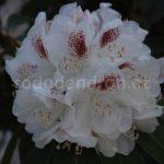 Rododendron Schneebuket