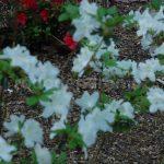 Rododendron Schneeglanz