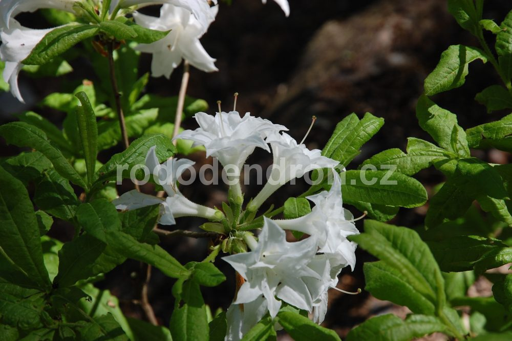 Rododendron Schneekopchen