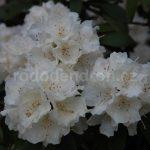 Rododendron Schneekrone
