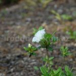 Rododendron Schneeperle