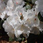 Rododendron Schneespiegel