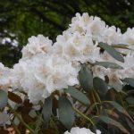 Rododendron Schneewolke