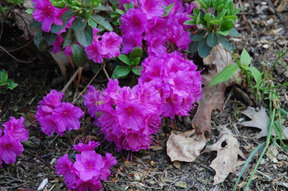 Rododendron Schramstein