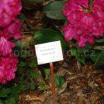 Rododendron Schranhorst