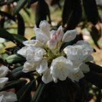 Rododendron Schwanensee