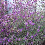 Rododendron Sichotense