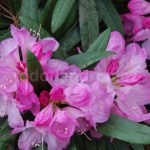 Rododendron Silber