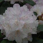 Rododendron Silber Glanz