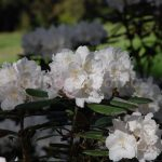 Rododendron Silver Lady