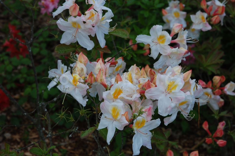 Rododendron Silver Slipper