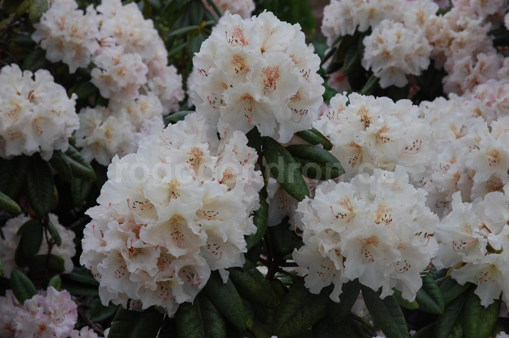 Rododendron Simona