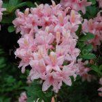 Rododendron Soir de Paris