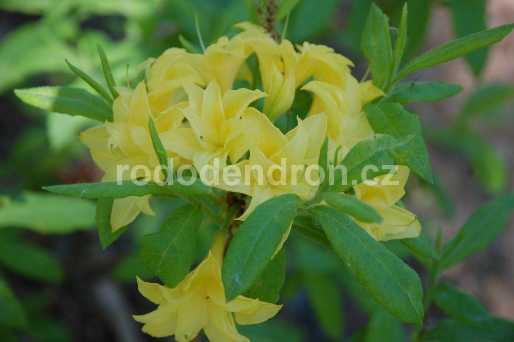 Rododendron Sonnekopfchen