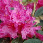 Rododendron Sovinec