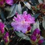 Rododendron Sputnik