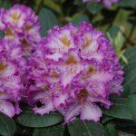 Rododendron Střekov