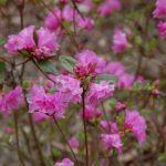 Rododendron Staccato