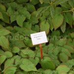 Rododendron Stella