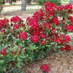 Rododendron Tarantella