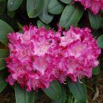 Rododendron Tatjana