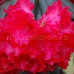 Rododendron Taurus