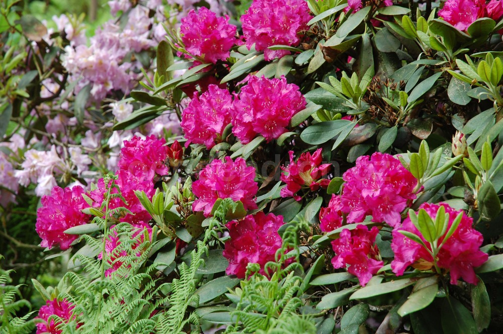 Rododendron Textor