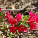 Rododendron Toreador