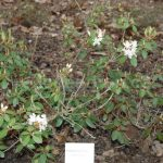 Rododendron Triflorum