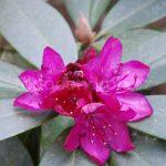 Rododendron Turkana